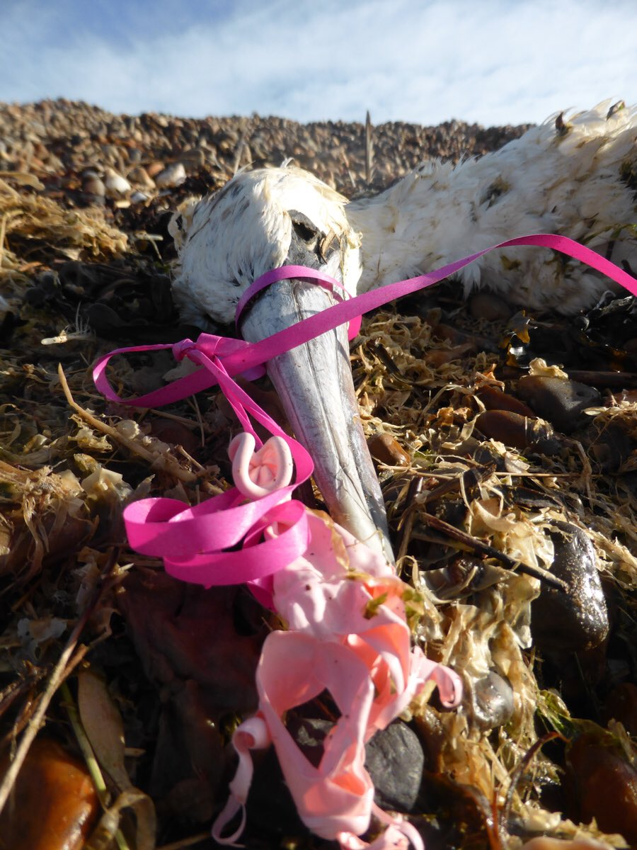 Perished Gannet with balloon ribbons